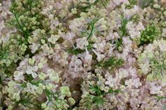Pink 'Maiden's Blush' lilac at New Covent Garden Flower Market - April 2015