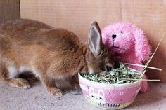 Ichigo san 457 いちごさんうさぎ rabbit bunny netherland dwarf brown cute pet family ichigo ネザーランドドワーフ ペット いちご うさぎ
