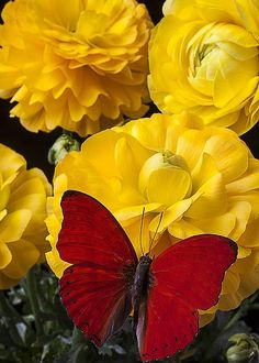 Yellow Ranunculus and Red Butterfly - by Garry Gay