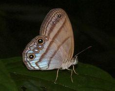 https://flic.kr/p/8FbRNJ | Chloreuptychia arnaca | Bosque Bavaria- Villaviciencio, Meta, Colombia