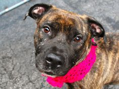 ♦ EXECUTED by NYC ACC ♦ TO BE DESTROYED | THATCHER – A1041300 | Rescue Only | Manhattan | DOH HOLD 06/24/15 | I am a female pit bull mix, 2 years old | THATCHER is a beauty, inside and out, and while she may be all grown up she's still petite and playful as a puppy!  Life may have thrown her a curve ball but this pint-sized Princess is more than ready to jump back in the game, RECRUIT HER FOR YOUR HOME TEAM TODAY! ♥ http://nycdogs.urgentpodr.org/thatcher-a1041300/