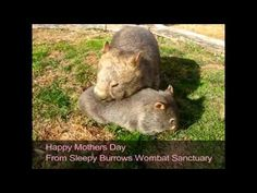 Happy Mothers Day from Sleepy Burrows Wombat Sanctuary - YouTube