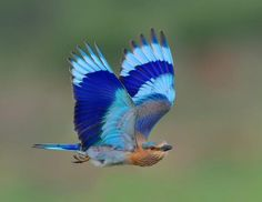Indian Roller in flight by derestrained. — with Joao Batista Bessa, Rao Asif, Ch Arslan and 42 others. Most Beautiful Birds, Pretty Birds, Indian Roller, Lilac Breasted Roller, Hope Is The Thing With Feathers, Kinds Of Birds, Colorful Birds, T Rex, Bird Feathers
