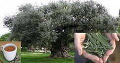 benefici foglie ulivo