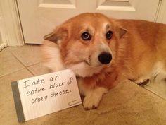 Corgi shaming!!
