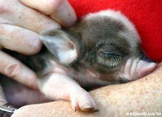 newborn mini pig