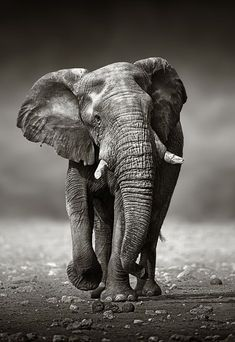 Elephant Love Say NO to Ivory! on Pinterest | African Elephant ...