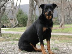 26 Rottweiler Pictures