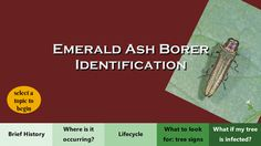 Emerald Ash Borer has become a problem almost throughout IL. This website was developed to help homeowners first ID their tree to make sure it truly is an ash, followed by EAB identification, and then control options.