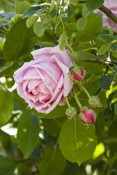 Italy - Veneto Mme Caroline Testout rose at Ca' delle Rose - Gorgo - Fossalta di Portogruaro