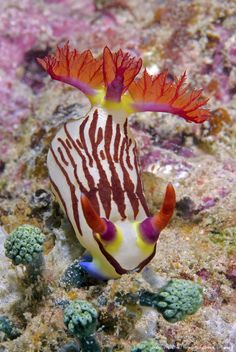 Nudibranch mollusk on coral, Raja Ampat Islands, Irian Jaya, West Papua, Indonesia