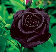 Black Magic Hybrid Tea Rose | BLACK BACCARA FRAGRANT ROSE LARGE FLOWERD HYBRID TEA H T BARE ROOTED ...