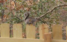 Mr. Grey Squirrel