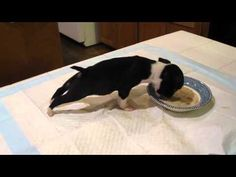 Boston Terrier Puppy Can't Keep His Feet Down |Too cute!