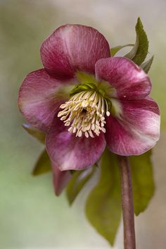 Hellebore by Mandy Disher on Flickr.