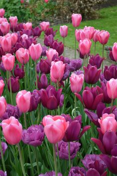 Double late tulip 'Backpacker' with single late tulip 'Survivor and lily flowered 'Merlot'