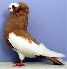 komorner tumbler pigeon - Google Search Birds In The Sky, Love Birds, Beautiful Birds, Exotic Birds, Colorful Birds, Tumbler Pigeons, Farm Animals, Cute Animals, Pigeon Breeds
