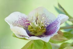 Helleborus niger, commonly called Christmas rose or black hellebore, is an evergreen perennial flowering plant in the buttercup family, Ranunculaceae. It is poisonous. Helleborus niger is an evergreen plant with dark leathery pedate leaves carried on stems 9–12 in (23–30 cm) tall. The large flat flowers, borne on short stems from midwinter to early spring, are white or occasionally pink. The plant is a traditional cottage garden favourite because it flowers in the depths of winter.