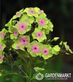 Phlox Paniculata Sherbet Blend 1 pcs
