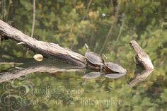 Sarah's Scenes: Turtles