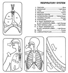 Respiratory System Without Labels Human Respiratory System