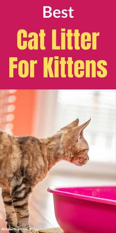 Find out what is the best cat litter for kittens, and what you should never use. Plus when is a kitten old enough to use a litter box and lots more. Best Cat Litter, Litter Box, Tiny Kitten, Little Kittens, Cats And Kittens, Different Types Of Cats, Diy Shampoo