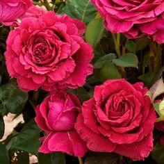 """French rose Delbard """"Rosier La Rose des 4 vents®"""""""