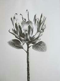 Protea Study IV Drawing by Ira van der Merwe Protea Art, Protea Flower, Botanical Illustration, Botanical Prints, Illustration Art, Pencil Art, Pencil Drawings, Art Drawings, African Flowers
