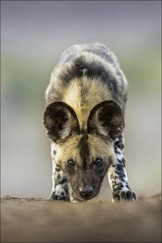 African Wild Dog by Georg Scharf