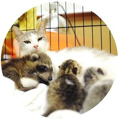 *10 month old mama cat J.J. fell in love with a rescue baby raccoon when they were placed together at the shelter on Monday, April 2. A mother's instinct kicked in, J.J. adopted the orphan raccoon immediately after they met and started nursing and cleaning it as if it was her own.