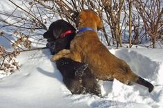 3 Methods to Calm Your Dog Around Other Dogs - Dog Training Advice Tips German Dog Breeds, Big Dog Breeds, Popular Dog Breeds, Protection Dog Training, Basic Dog Training, Training Tips, Puppy Play, Labrador Retriever Dog, Lab Puppies