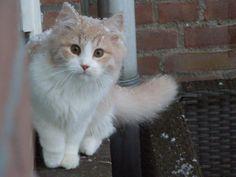 Dima, Siberian Cat, 4,5 months
