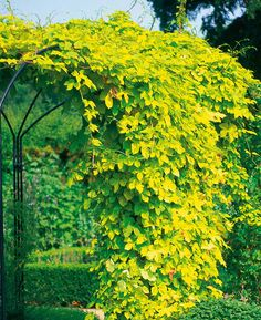 Plant of the Day: Golden Hop