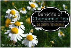 The Many Benefits and Uses For Chamomile – Chamomile tea benefits our health in so many ways. Read about them here along with the many other uses of chamomile in salves, wound care, ice cubes and more!