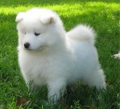 SUPERBES CHIOTS SAMOYED SAMOYÈDE City of Montréal Greater Montréal image 5 Siberian Samoyed, Samoyed Dogs, Japanese Spitz Dog, Animals And Pets, Cute Animals, Cute Dogs And Puppies, Doggies, Spitz Dogs, Montreal Ville