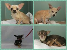 SUPER URGENT - Manhattan FAMILY OF 7 CHIHUAHUAS-  2 OF THEM **12 YERAS OLD*** -- ***OWNER DIED - MARIA – A1073376 -CONNIE – A1073375  - CHINGY – A1073373 -  LIL BEAR – A1073379  **3 of them no photo or info yet** . From NY 10024, http://nycdogs.urgentpodr.org/lil-bear-a1073379/