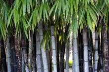 Black bamboo - fast growing, good privacy and non invasive