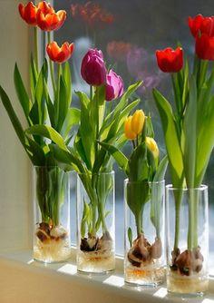 Indoor Vegetable Gardening PRICE SALE 10 Prechilled Tulip Bulbs 'Darwin by botanicalart Indoor Water Garden, Indoor Vegetable Gardening, Container Gardening, Indoor Plants, Gardening Hacks, Organic Gardening, Hydroponic Gardening, Indoor Flowers, Urban Gardening