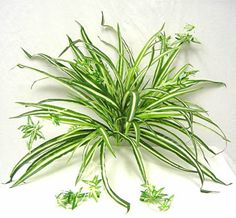 Most Useful and Beautiful Indoor House Plants for Your Home.  (Spider plants aren't toxic to cats)
