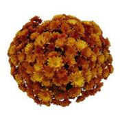 Chrysanthemum will make a perfect decoration indoor and outdoor for the whole month of October.