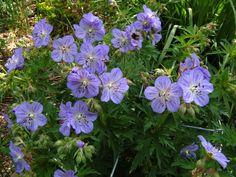 Bilderesultat for Geranium pratense Mrs Kendall Clark
