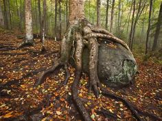 Adirondack Park, Goodnow Mountain, Newcomb, New York  © Michael Melford on National Geographic  A yellow birch appears to be ingesting a boulder left behind by a glacier.