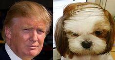 Risultati immagini per trump hair meme Hair Meme, Dog With A Blog, Trump Hair, Celebrity Dogs, Gremlins, Look Alike, Little Dogs, I Love Cats, Donald Trump