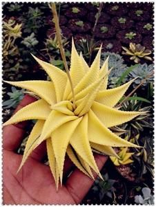 Aloe vera flores,rare herb plantas Tree plante bonsai plants for home and garden DIY,edible Beauty cosmetic use Types Of Succulents, Succulents In Containers, Cacti And Succulents, Planting Succulents, Planting Flowers, Unusual Plants, Exotic Plants, Exotic Flowers, Balcony Plants