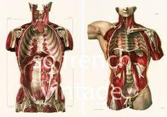 29X40cm Muscles Thoraciques et Abdominaux Planche Anatomique Corps Humain Copie…
