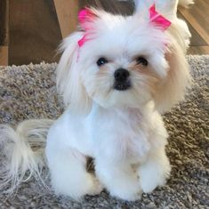 I miss my Maltese pups, Missy, Nick, and Tessa.all now little angels in heaven. Shih Tzu, Cute Puppies, Cute Dogs, Dogs And Puppies, Doggies, Animals And Pets, Baby Animals, Cute Animals, Maltese Dogs