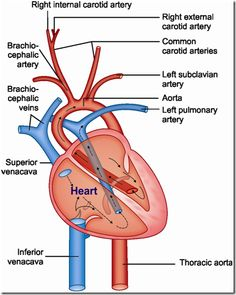 Know more about cardiovascular system