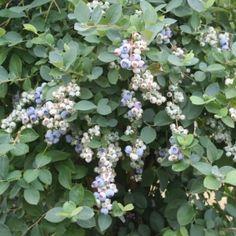 Bountiful Blue® Blueberry Vaccinium corymbosum 'FLX-2' P.P.# 19,381