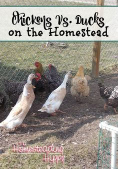 Chickens or Ducks?  Which poultry is best for a small homestead?  Find out pros and cons of each! The Homesteading Hippy #homesteadhippy #fromthefarm #chickens #ducks