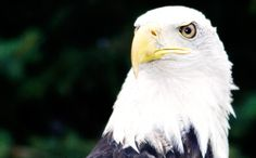 Cheyenne the Bald Eagle. Happy National Bald Eagle Day!